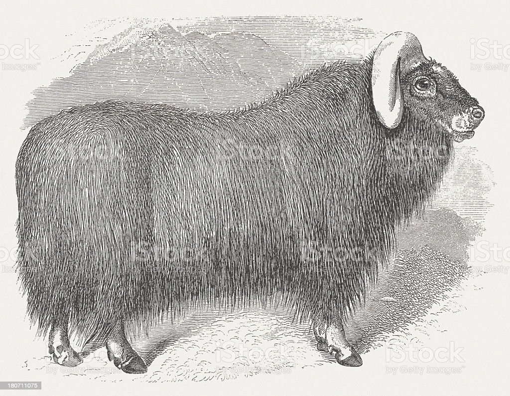 Muskox (Ovibos moschatus), wood engraving, published in 1875 royalty-free stock vector art
