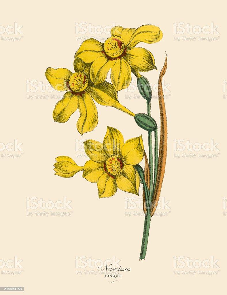 Narcissus or Jonquil Plants, Victorian Botanical Illustration vector art illustration