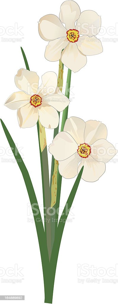 Narcissus Poeticus vector art illustration