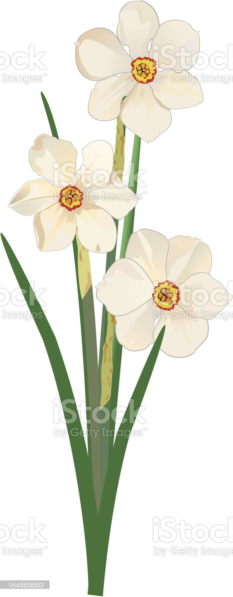 Narcissus Poeticus royalty-free stock vector art