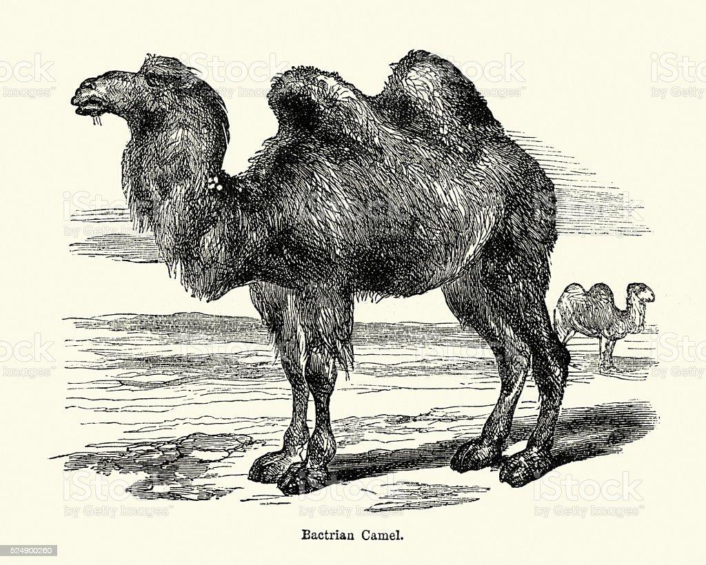 Natural History - Bactrian camel Camelus bactrianus vector art illustration