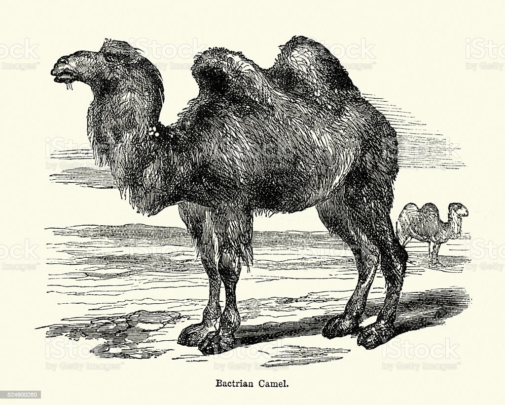 Natural History - Bactrian camel Camelus bactrianus vector art illustration
