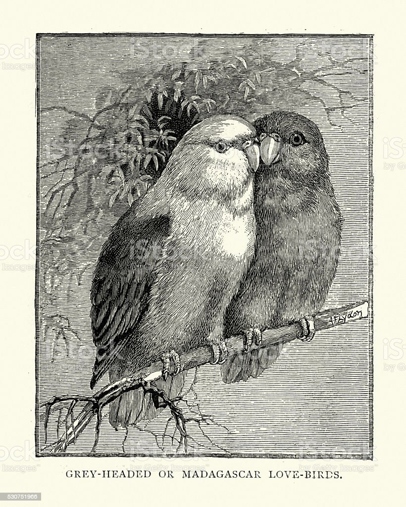 Natural history - Birds - Grey-headed lovebird vector art illustration