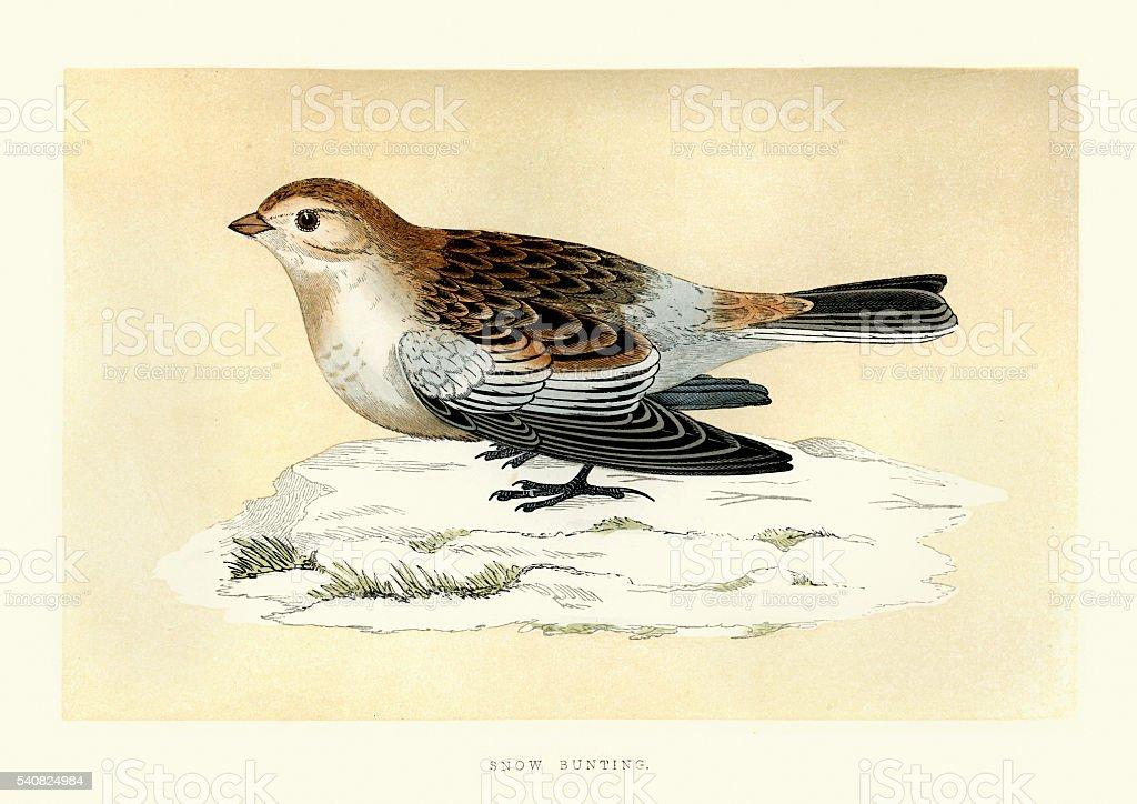 Natural History - Birds - Snow bunting vector art illustration