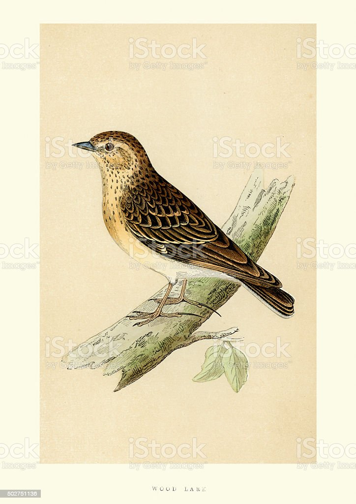 Natural History - Birds - Woodlark vector art illustration