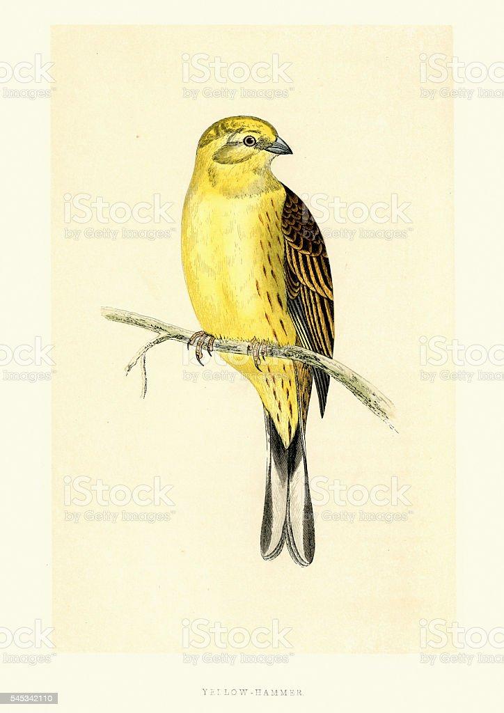 Natural History Birds - Yellowhammer (Emberiza citrinella) vector art illustration