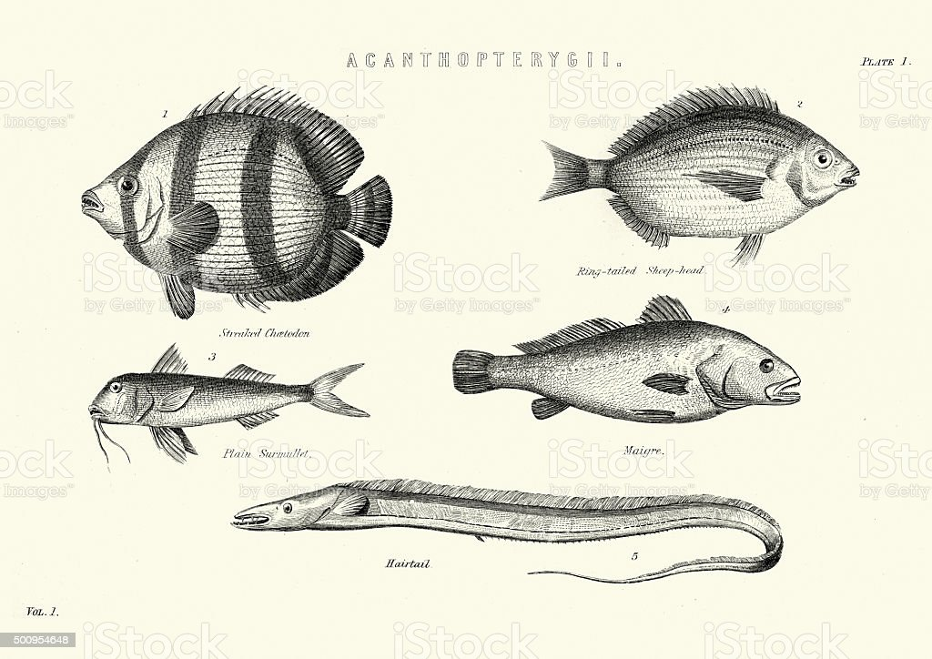 Natural History - Fish - Acanthopterygii vector art illustration