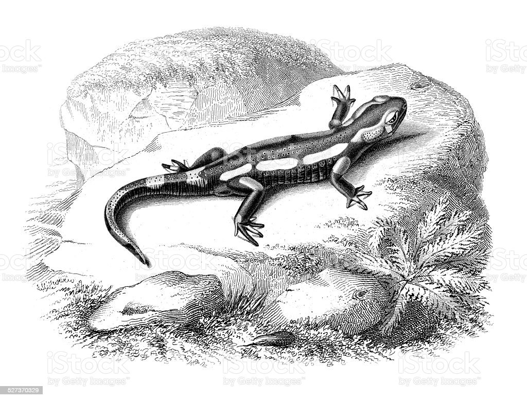 Near Eastern fire salamander vector art illustration