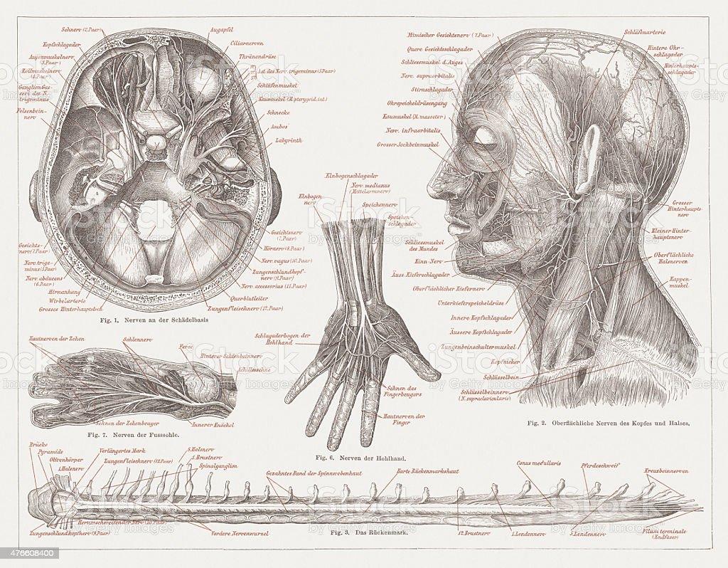 Nervous system of humans, published in 1877 vector art illustration