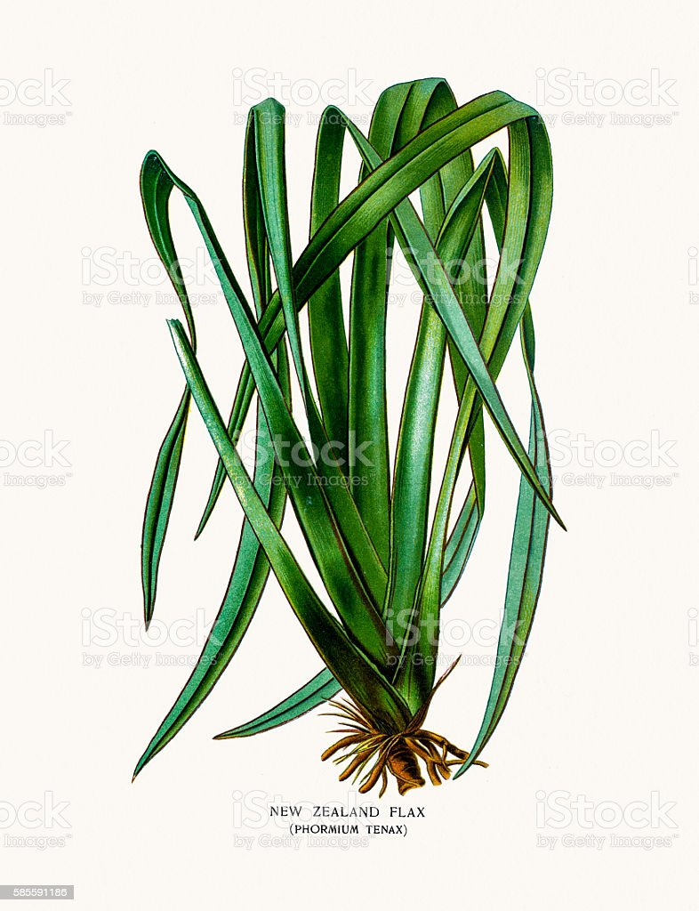 New Zealand Flax house plant vector art illustration