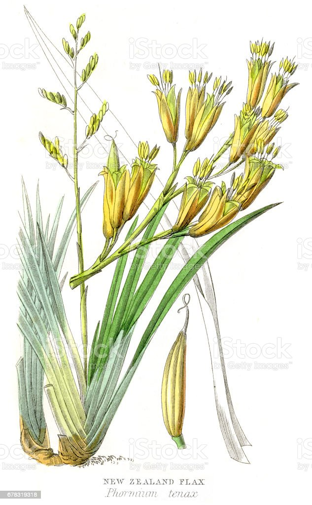 New Zealand flax plant botanical engraving 1857 vector art illustration