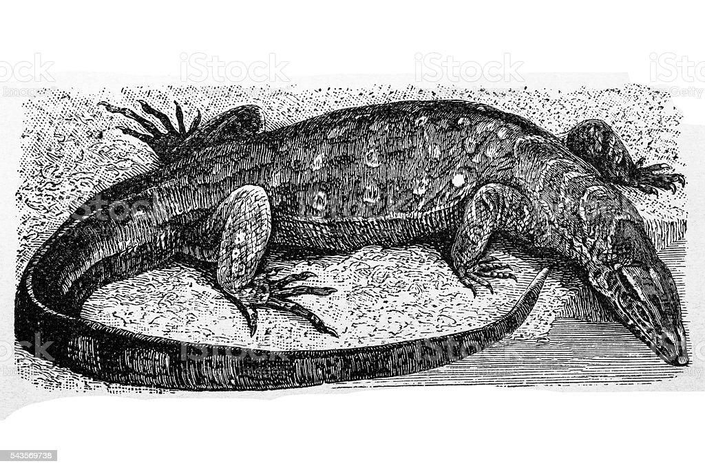 Nile monitor (Varanus niloticus) vector art illustration