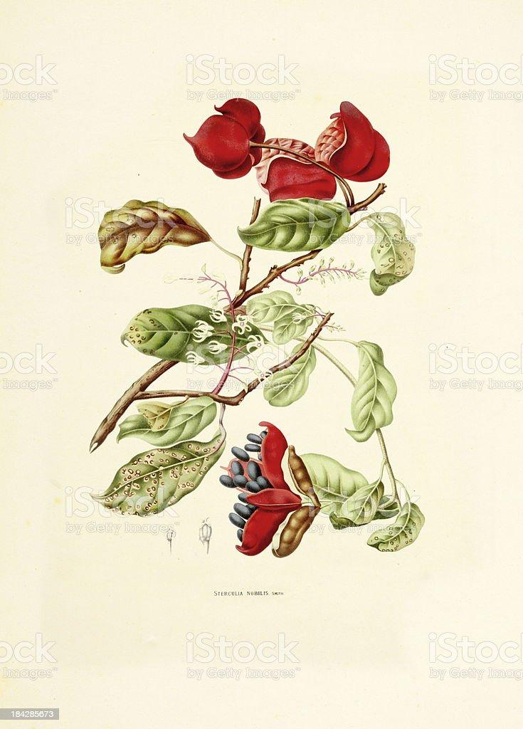 Noble bottle-tree | Antique Plant Illustrations royalty-free stock vector art