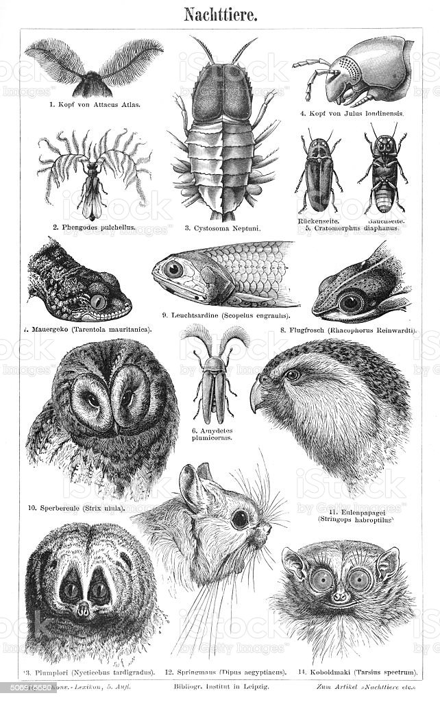 Nocturnal animals engraving 1897 stock photo