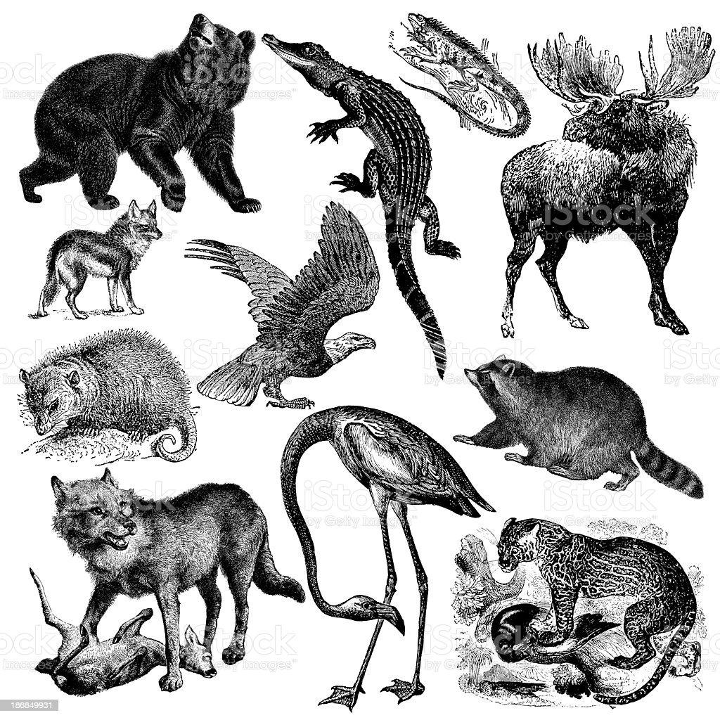 North America Fauna Illsutrations | Vintage Animal Clipart royalty-free stock vector art