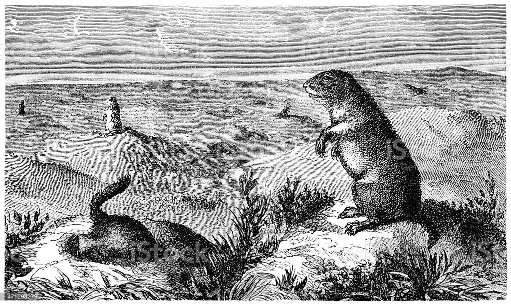 North American prairie dogs (Victorian engraving) royalty-free stock vector art