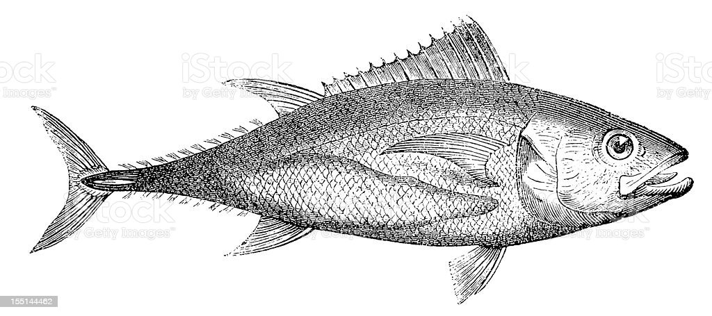 Northern Bluefin Tuna (Thunnus Thynnus) royalty-free stock vector art