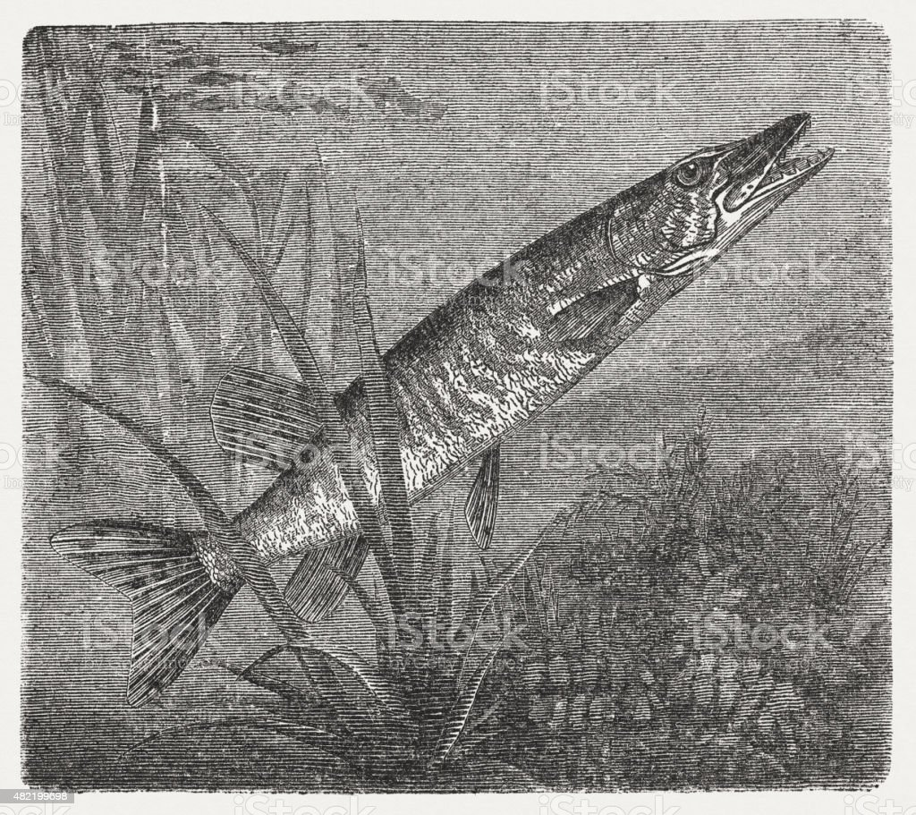 Northern pike (Esox lucius), published in 1868 vector art illustration