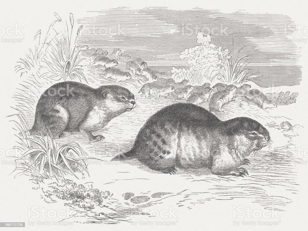 Norway lemmings (Lemmus Lemmus), wood engraving royalty-free stock vector art