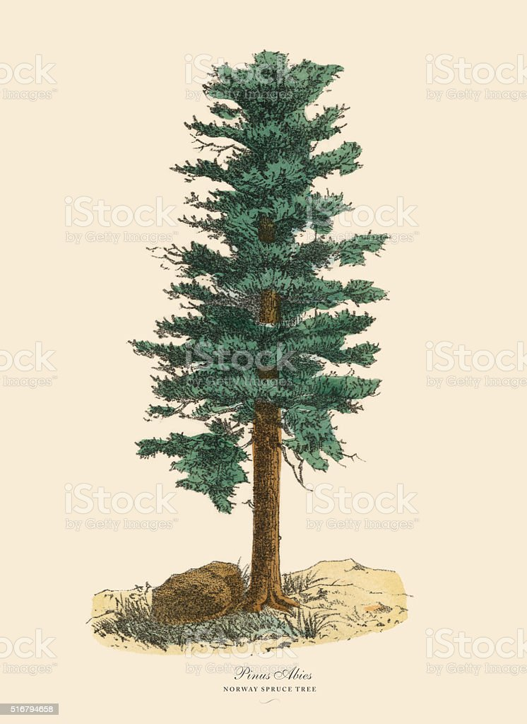 Norway Spruce Pine Tree or Pinus Abies, Victorian Botanical Illustration vector art illustration