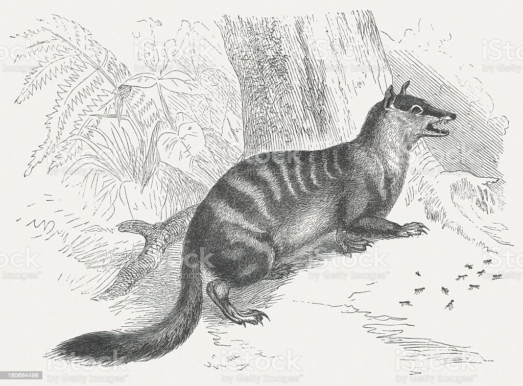 Numbat (Myrmecobius fasciatus), wood engraving, published in 1875 royalty-free stock vector art