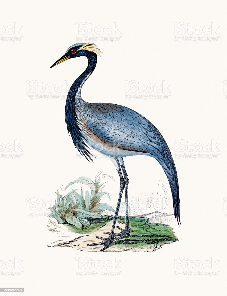 Numidian Crane bird vector art illustration