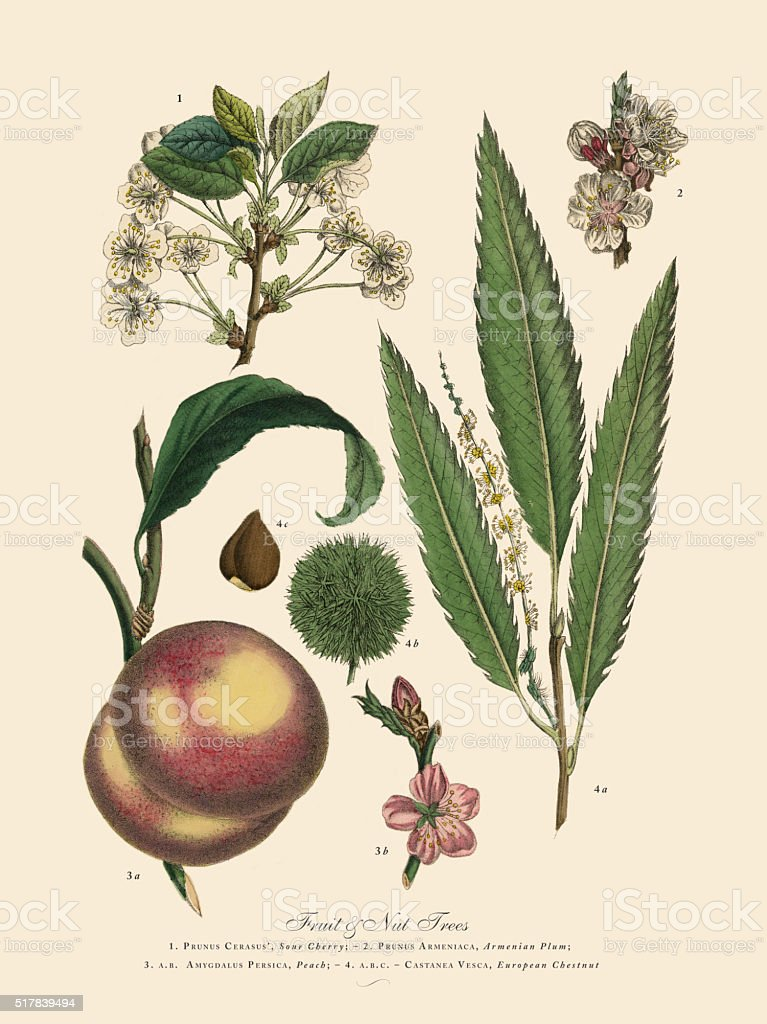 Nut and Fruit Trees of the Garden, Victorian Botanical Illustration vector art illustration