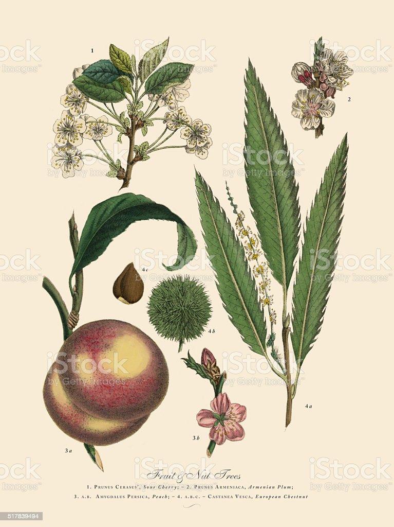 Nut and Fruit Trees of the Garden, Victorian Botanical Illustration vector art illustration
