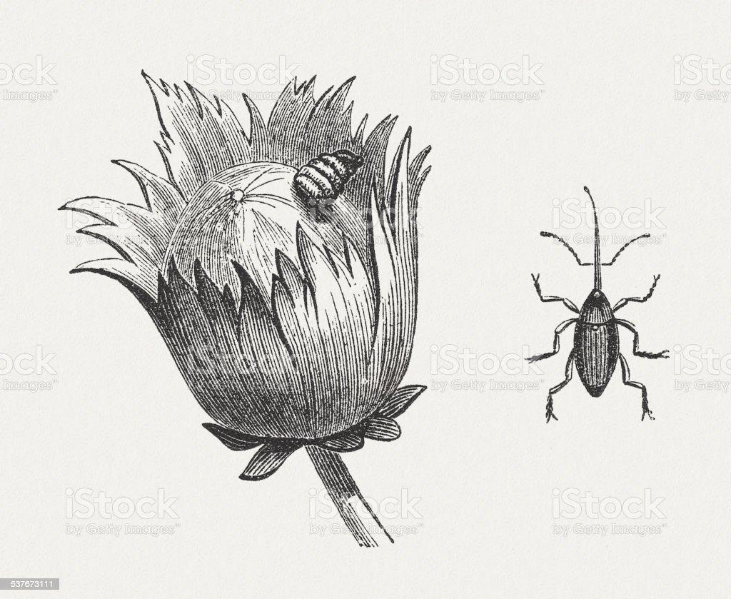 Nut weevil vector art illustration
