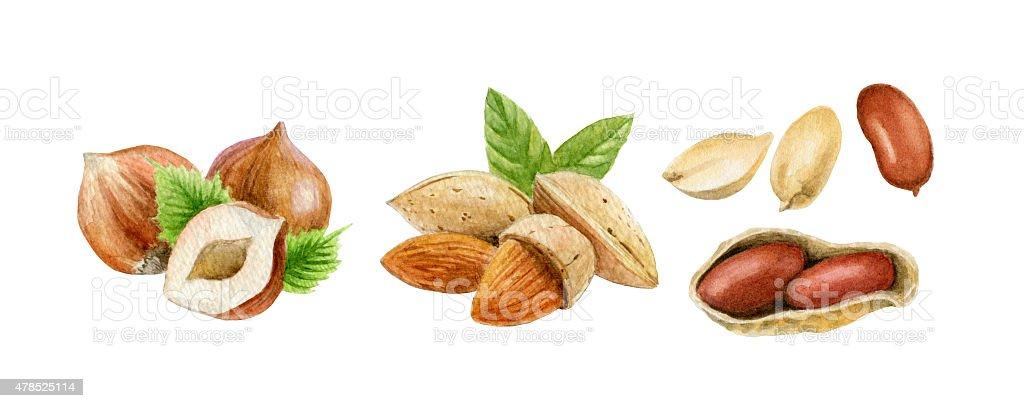 Nuts.Watercolor Ilustracja. stockowa ilustracja wektorowa royalty-free