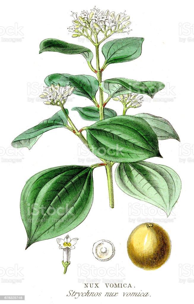 Nux vomica botanical engraving 1857 vector art illustration