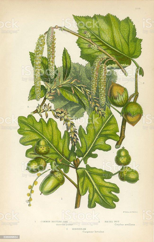 Oak, British Oak, Hazel Nut, Hornbeam, Victorian Botanical Illustration vector art illustration