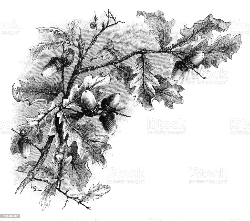 how to draw oak leaves and acorns