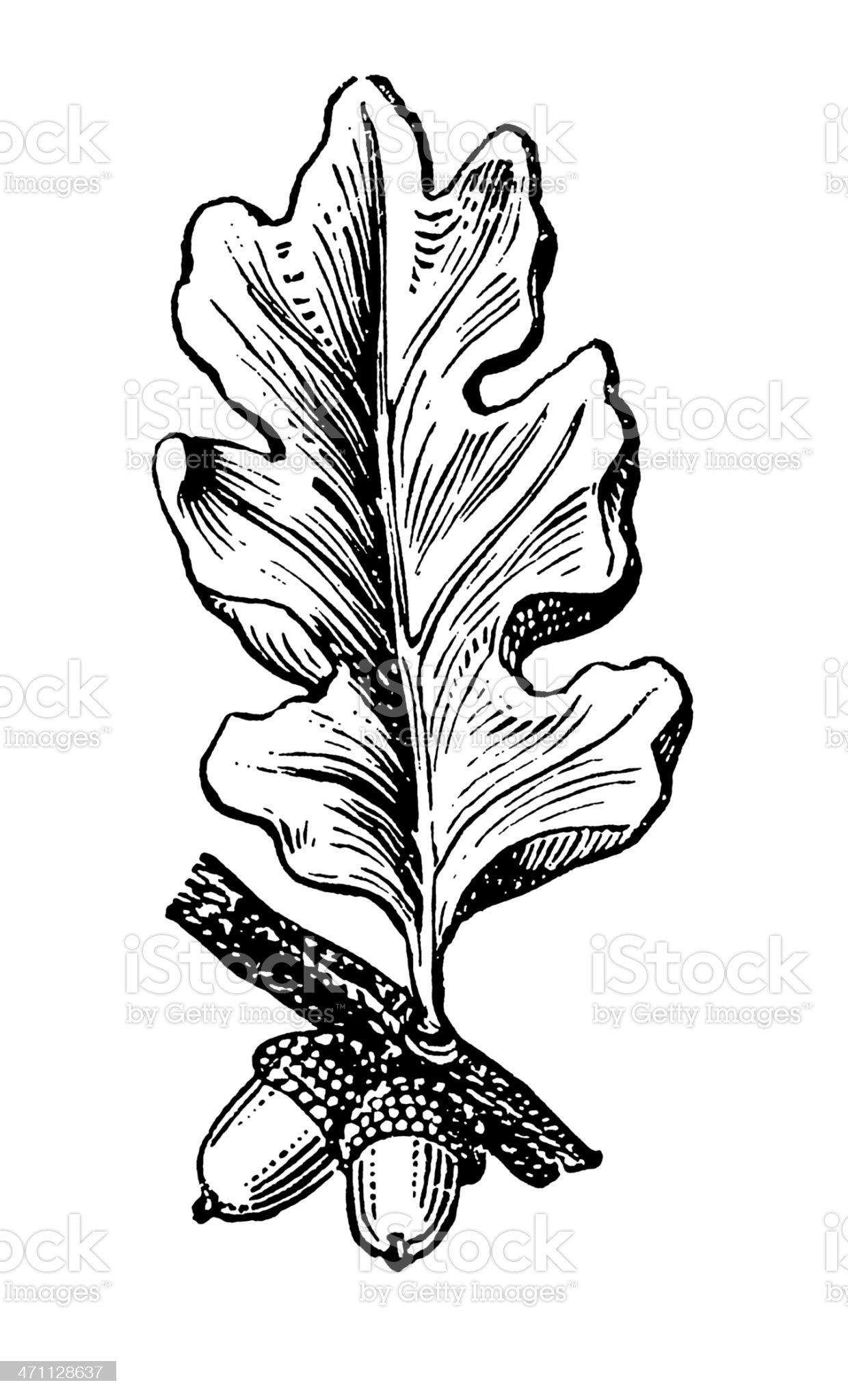 Oak Tree Branch with Fruits royalty-free stock vector art