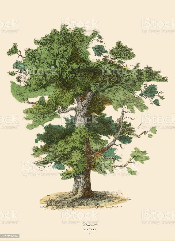 Oak Tree or Quercus, Victorian Botanical Illustration vector art illustration