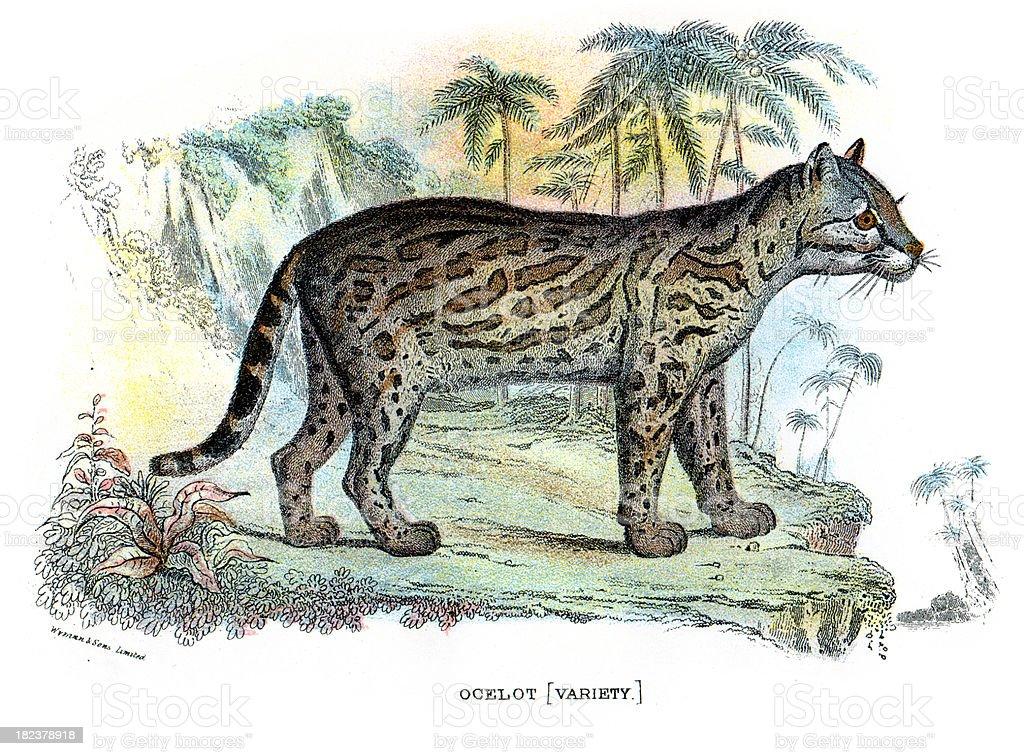 Ocelot (Leopardus pardalis) royalty-free stock vector art