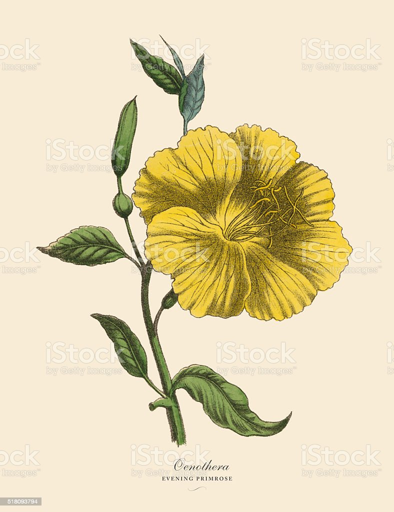 Oenothera or Evening Primrose Plant, Victorian Botanical Illustration vector art illustration