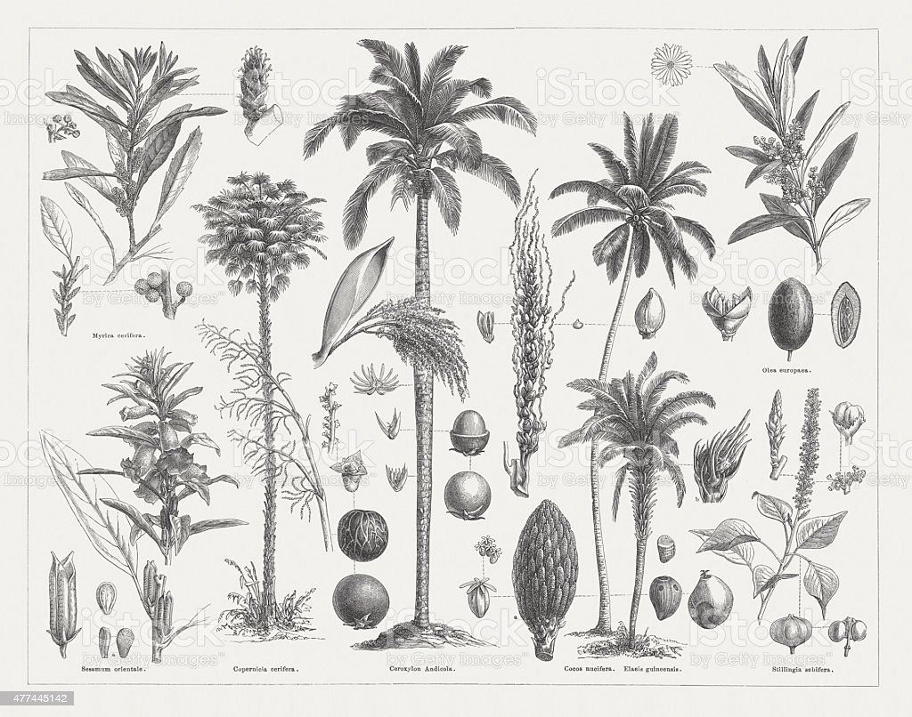 Oil plants, wood engravings, published in 1877 vector art illustration