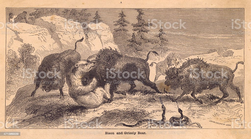 Old, Black and White Illustration of Bison Fighting Grizzly Bear royalty-free stock vector art