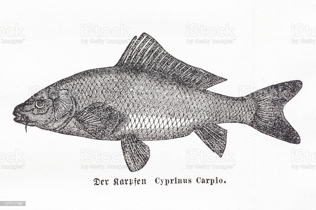 Old illustration of Common carp (Cyprinus carpio) vector art illustration