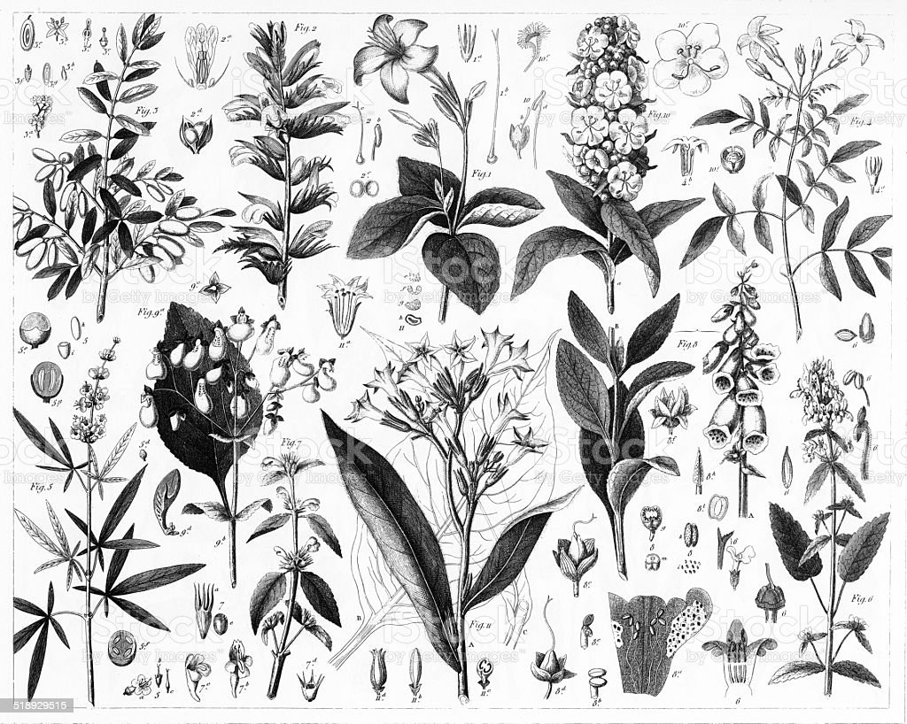 Olive, Verbena, Mint and Fig Plants vector art illustration