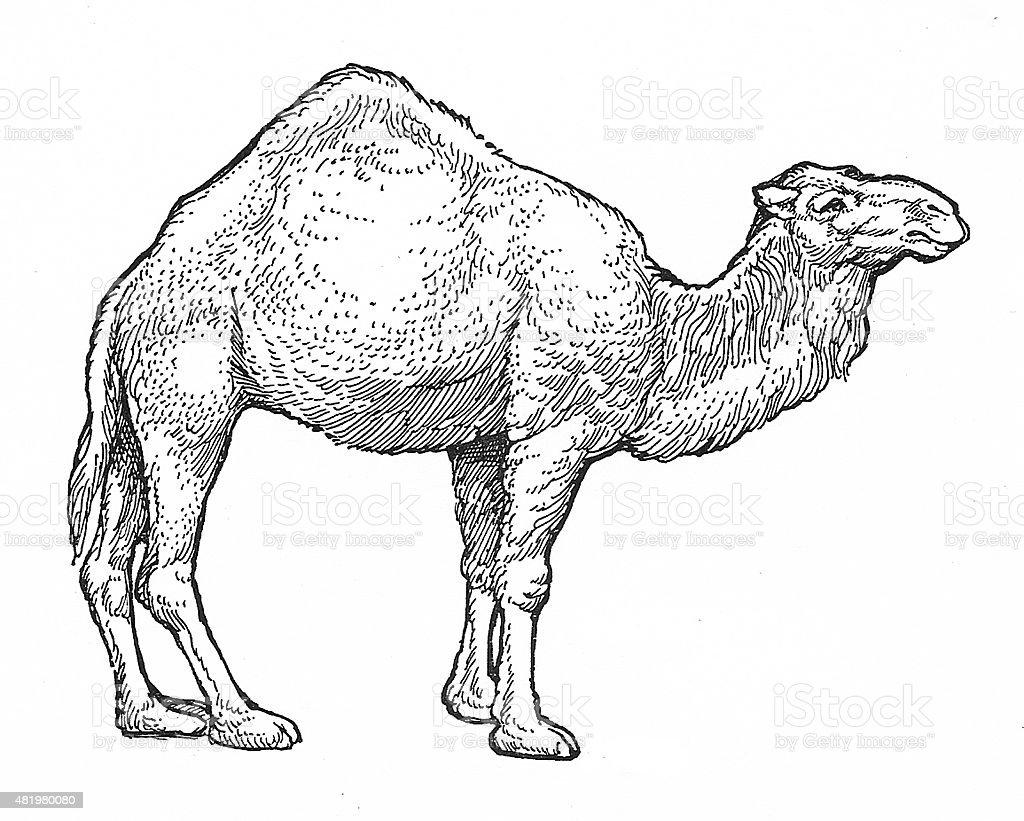Ein Humped Kamel Lizenzfreies vektor illustration