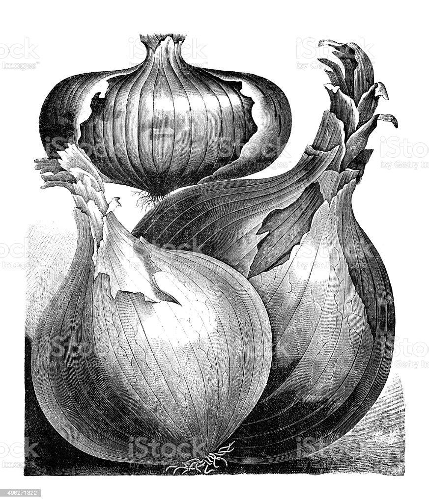 onion vector art illustration