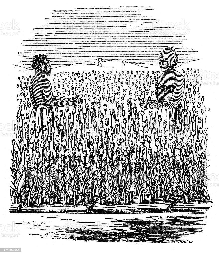 Opium Field Harvest vector art illustration