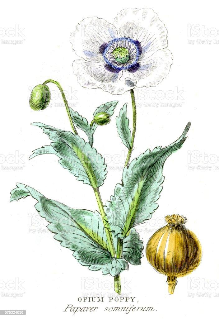 Opium poppy botanical engraving 1857 vector art illustration