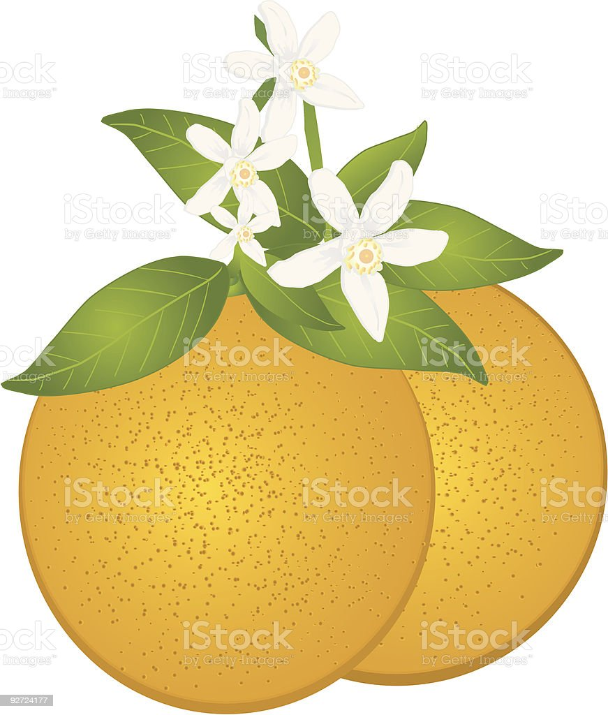 Orange and blossom vector art illustration