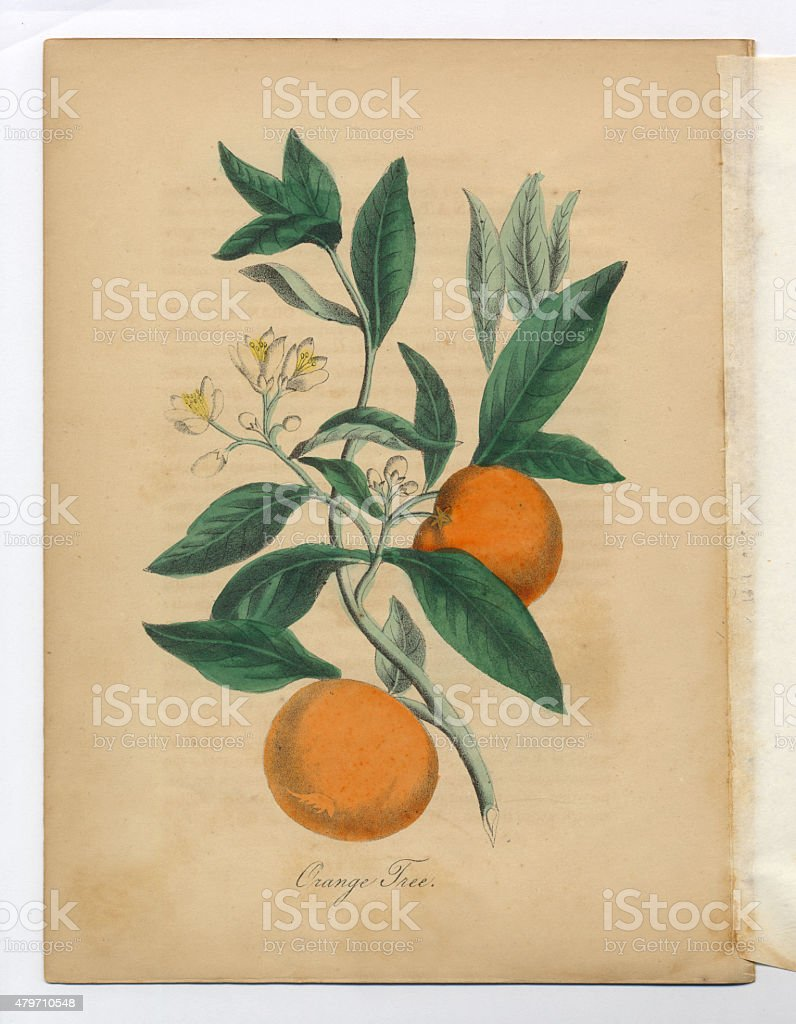 Orange Tree Victorian Botanical Illustration vector art illustration