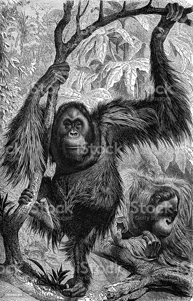 Orang-utan royalty-free stock vector art