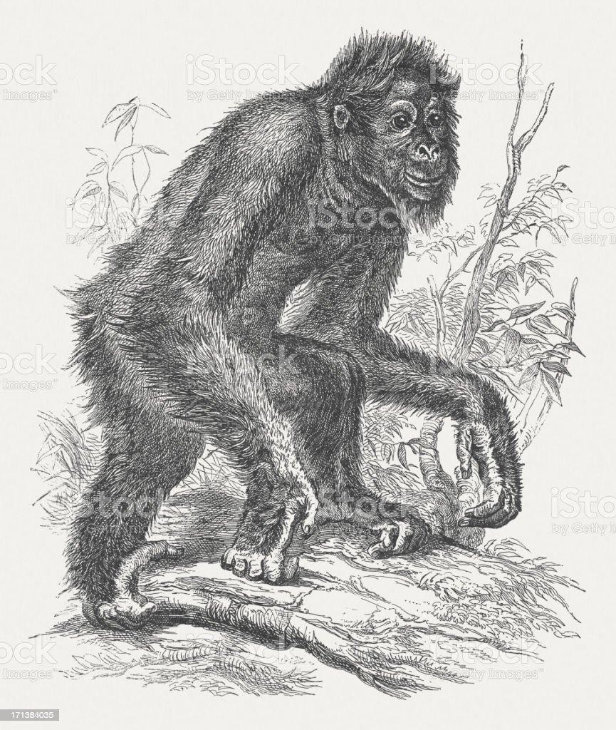 Orangutang (Pongo), wood engraving, published in 1875 royalty-free stock vector art