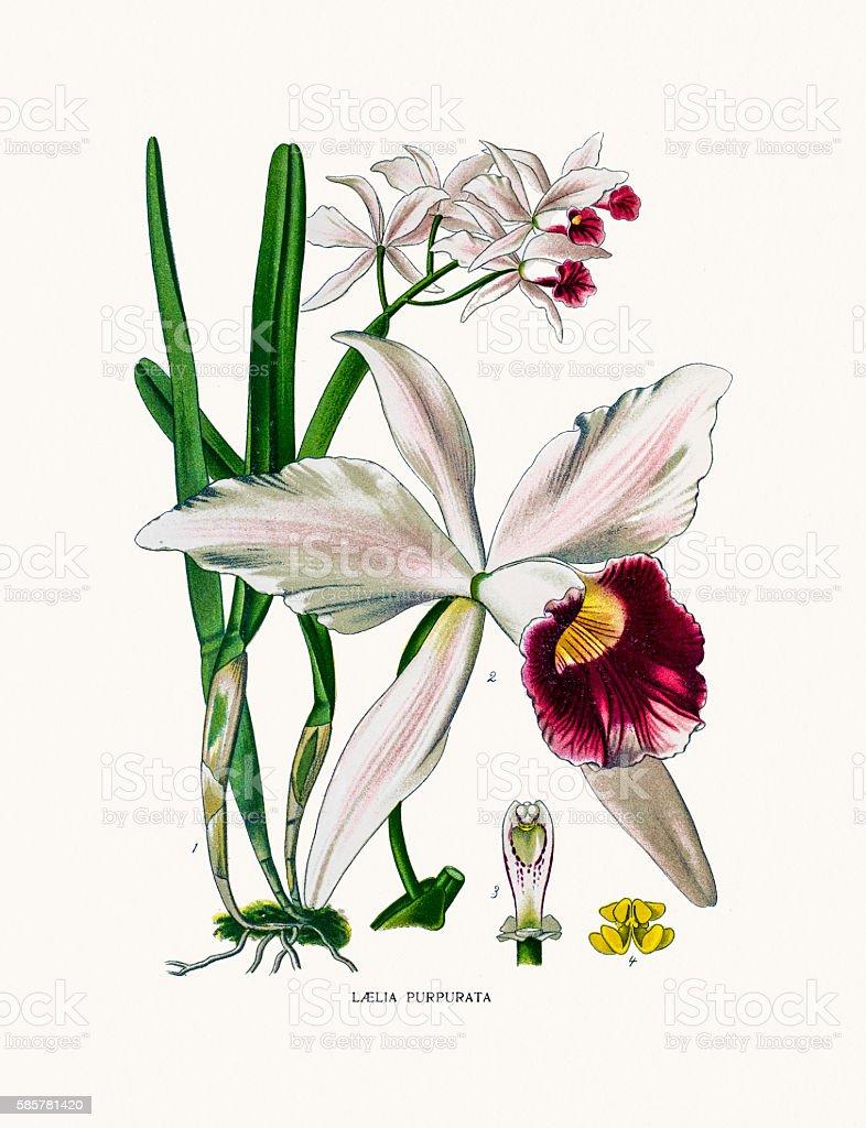 orchid vector art illustration